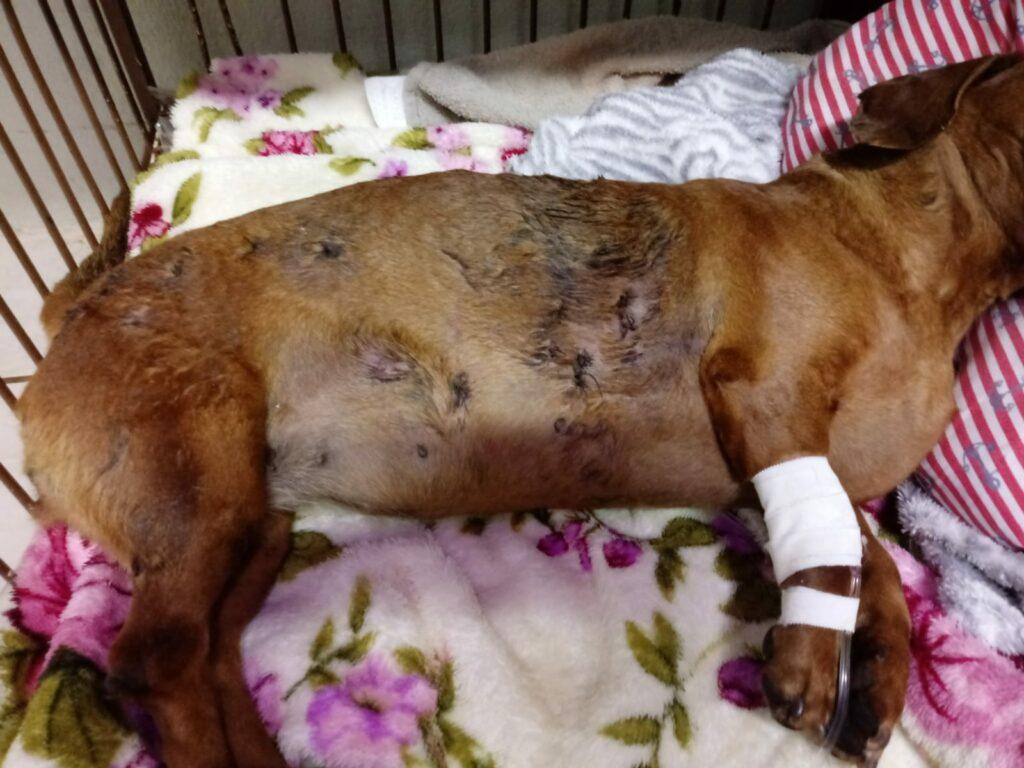 Polícia Civil identifica tutor de Pit Bulls que atacaram e mataram cadelinha em Três Lagoas